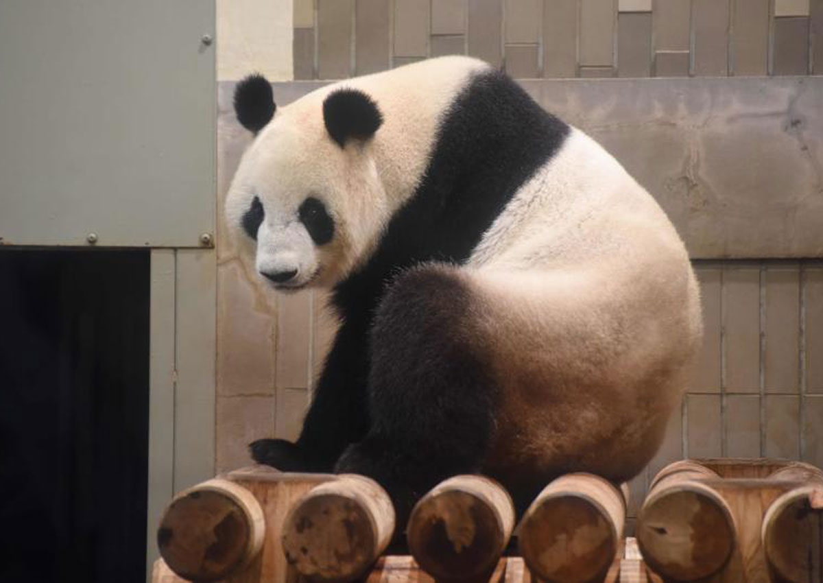 Japan Zoo Celebrates Birth Of Panda Cub  Local Singapore News. Inpatient Banners. Bee Signs. Albert Lettering. Aleins Signs Of Stroke. Sinus Infection Signs Of Stroke. Allison Decals. Investor Logo. Bhakri Banners